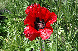 Beauty of Livermere Poppy (Papaver orientale 'Beauty of Livermere') at Bedford Fields