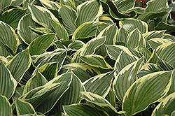 Golden Variegated Hosta (Hosta fortunei 'Aureomarginata') at Bedford Fields