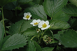 Everbearing Strawberry (Fragaria 'Everbearing') at Bedford Fields