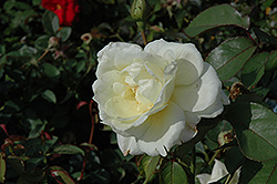 Macy's Pride™ Rose (Rosa 'BAIcream') at Bedford Fields