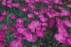 Firewitch Pinks (Dianthus gratianopolitanus 'Firewitch') at Bedford Fields