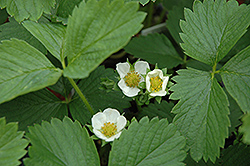Ozark Beauty Strawberry (Fragaria 'Ozark Beauty') at Bedford Fields