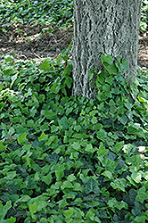 Baltic Ivy (Hedera helix 'Baltica') at Bedford Fields