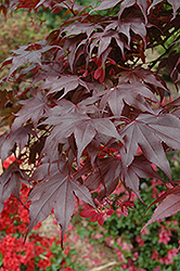 Bloodgood Japanese Maple (Acer palmatum 'Bloodgood') at Bedford Fields