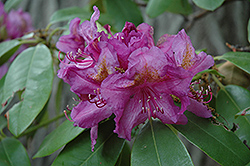 Lee's Dark Purple Rhododendron (Rhododendron catawbiense 'Lee's Dark Purple') at Bedford Fields