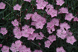 Bath's Pink Pinks (Dianthus 'Bath's Pink') at Bedford Fields