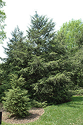 Canadian Hemlock (Tsuga canadensis) at Bedford Fields