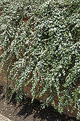 Coral Beauty Cotoneaster (Cotoneaster dammeri 'Coral Beauty') at Bedford Fields