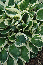 Patriot Hosta (Hosta 'Patriot') at Bedford Fields