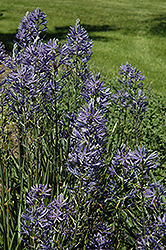 Blue Danube Camassia (Camassia leichtlinii 'Blue Danube') at Bedford Fields