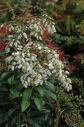 Mountain Fire Japanese Pieris (Pieris japonica 'Mountain Fire') at Bedford Fields