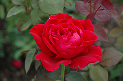 Mister Lincoln Rose (Rosa 'Mister Lincoln') at Bedford Fields