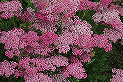 Pink Grapefruit Yarrow (Achillea 'Pink Grapefruit') at Bedford Fields