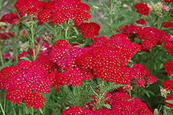 Pomegranate Yarrow (Achillea millefolium 'Pomegranate') at Bedford Fields