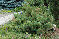 Macopin Eastern White Pine (Pinus strobus 'Macopin') at Bedford Fields
