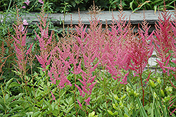 Visions in Pink Chinese Astilbe (Astilbe chinensis 'Visions in Pink') at Bedford Fields