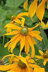 Irish Eyes Coneflower (Rudbeckia hirta 'Irish Eyes') at Bedford Fields