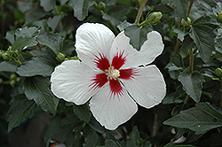 Lil' Kim® Rose of Sharon (Hibiscus syriacus 'Antong Two') at Bedford Fields