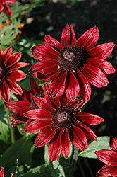 Cherry Brandy Coneflower (Rudbeckia hirta 'Cherry Brandy') at Bedford Fields