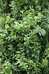 Graham Blandy Boxwood (Buxus sempervirens 'Graham Blandy') at Bedford Fields
