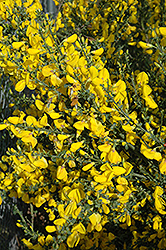 Scotch Broom (Cytisus scoparius) at Bedford Fields
