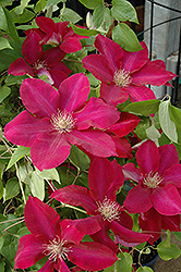 Rebecca Clematis (Clematis 'Rebecca') at Bedford Fields