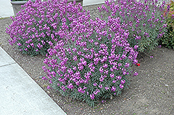 Bowles Mauve Wallflower (Erysimum 'Bowles Mauve') at Bedford Fields