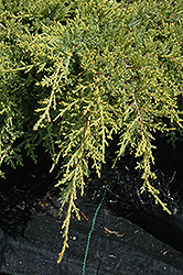 Gold Star Juniper (Juniperus chinensis 'Bakaurea') at Bedford Fields