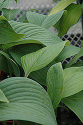 T-Rex Hosta (Hosta 'T-Rex') at Bedford Fields