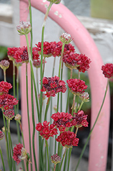 Ballerina Red False Sea Thrift (Armeria pseudarmeria 'Ballerina Red') at Bedford Fields