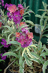 Variegated Wallflower (Erysimum linifolium 'Variegatum') at Bedford Fields