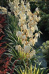 Color Guard Adam's Needle (Yucca filamentosa 'Color Guard') at Bedford Fields