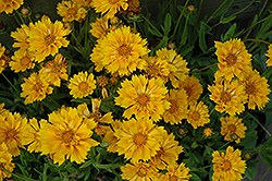Jethro Tull Tickseed (Coreopsis 'Jethro Tull') at Bedford Fields