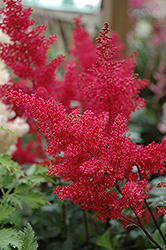 Montgomery Japanese Astilbe (Astilbe japonica 'Montgomery') at Bedford Fields