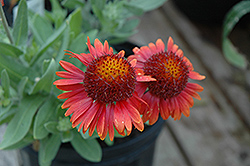 Arizona Red Shades Blanket Flower (Gaillardia x grandiflora 'Arizona Red Shades') at Bedford Fields