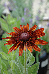 Cappuccino Coneflower (Rudbeckia hirta 'Cappuccino') at Bedford Fields