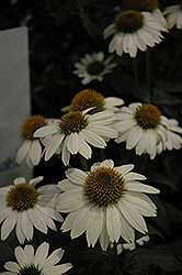 PowWow White Coneflower (Echinacea purpurea 'PowWow White') at Bedford Fields