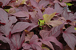 Sweet Caroline Red Sweet Potato Vine (Ipomoea batatas 'Sweet Caroline Red') at Bedford Fields