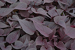 Sweetheart Purple Sweet Potato Vine (Ipomoea batatas 'Sweetheart Purple') at Bedford Fields