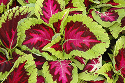 Kong Rose Coleus (Solenostemon scutellarioides 'Kong Rose') at Bedford Fields