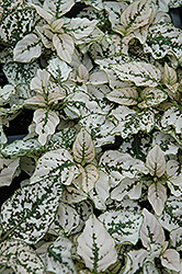Splash Select White Polka Dot Plant (Hypoestes phyllostachya 'Splash Select White') at Bedford Fields
