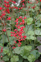 Firefly Coral Bells (Heuchera 'Firefly') at Bedford Fields