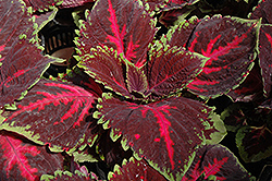 Kong Red Coleus (Solenostemon scutellarioides 'Kong Red') at Bedford Fields