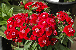 Barbarini Sweet William (Dianthus barbatus 'Barbarini') at Bedford Fields