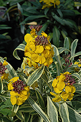 Fragrant Star Wallflower (Erysimum 'Fragrant Star') at Bedford Fields