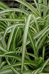 Spider Plant (Chlorophytum comosum) at Bedford Fields