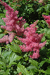 Younique Cerise™ Astilbe (Astilbe 'Verscerise') at Bedford Fields
