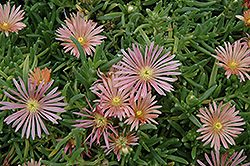 Mesa Verde Ice Plant (Delosperma 'Mesa Verde') at Bedford Fields