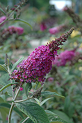 Miss Ruby Butterfly Bush (Buddleia davidii 'Miss Ruby') at Bedford Fields