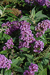 Lo And Behold® Purple Haze Dwarf Butterfly Bush (Buddleia 'Lo And Behold Purple Haze') at Bedford Fields